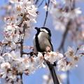 桜の中の四十雀(シジュウカラ)