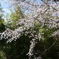竹藪の前の山桜