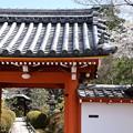 栄摂院の桜