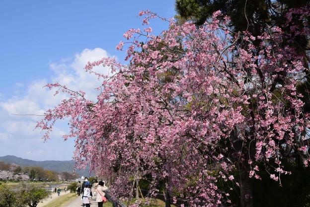 半木の道(なからぎのみち)の紅枝垂れ