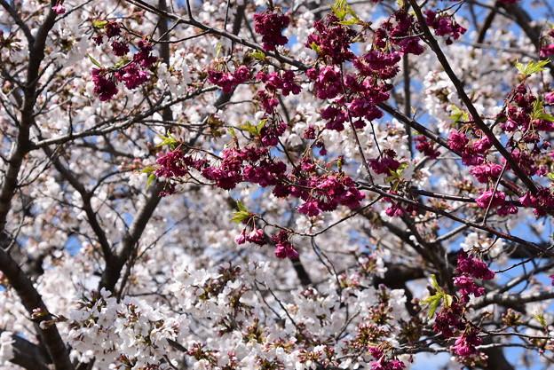 染井吉野の前の八重寒緋桜(ヤエカンヒザクラ)