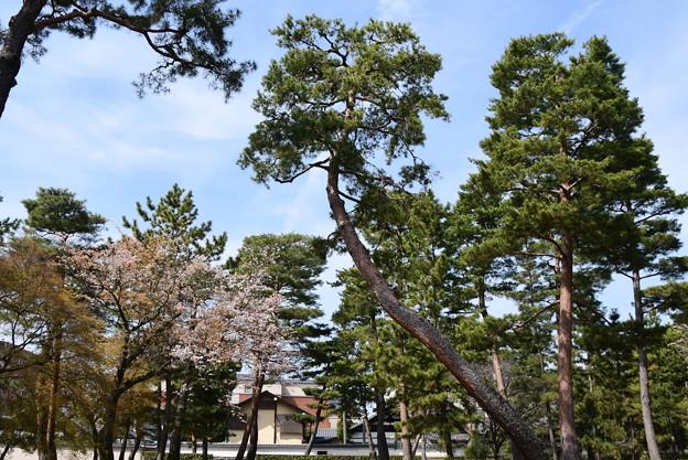 松林の中の山桜(ヤマザクラ)
