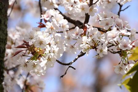 山桜(ヤマザクラ)?