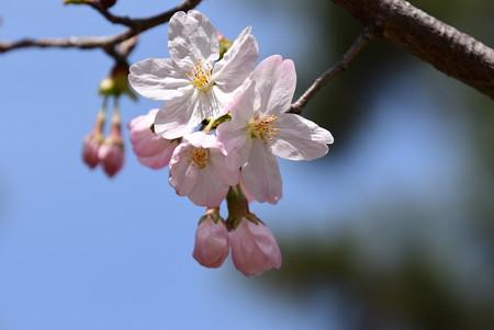 宜秋門向かいの桜