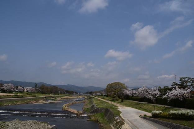 賀茂川の染井吉野(ソメイヨシノ)