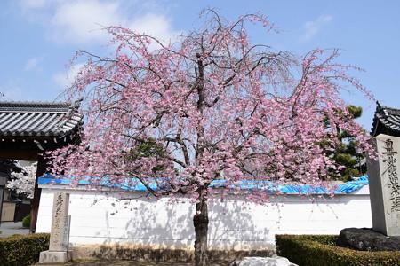 妙顕寺の八重紅枝垂れ(ヤエベニシダレ)