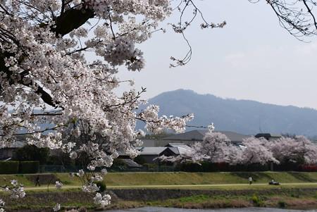 賀茂川の染井吉野と大文字