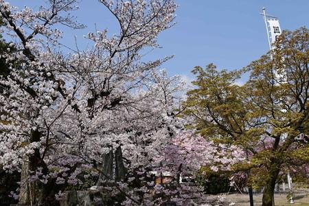 妙顕寺の染井吉野(ソメイヨシノ)