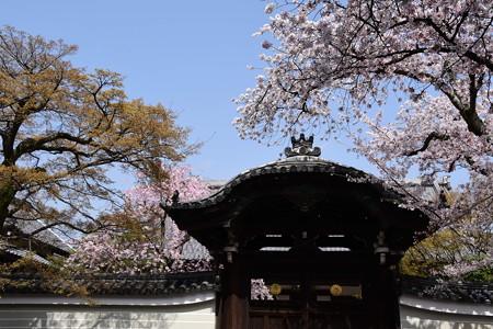勅使門を彩る桜