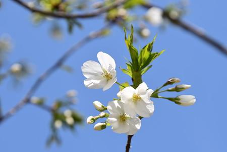 真っ白な桜