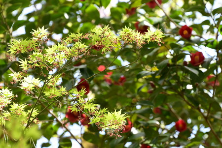 もみじの花と椿