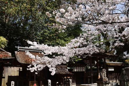 宗像神社の染井吉野(ソメイヨシノ)