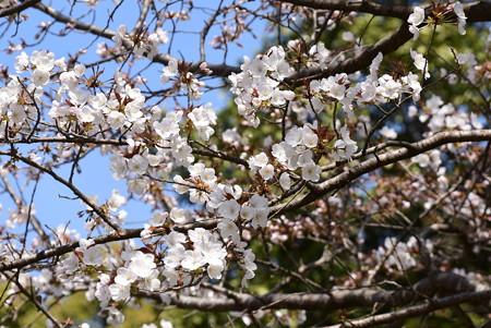 元左近の桜