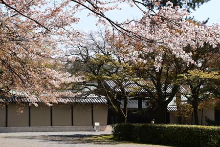 京都迎賓館前の山桜