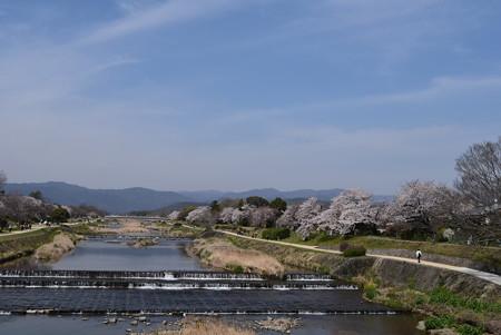 桜満開の賀茂川
