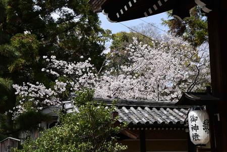屋根越しの染井吉野(ソメイヨシノ)