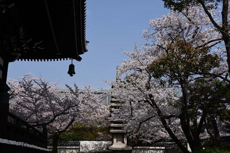 寿福院塔を包む染井吉野(ソメイヨシノ)