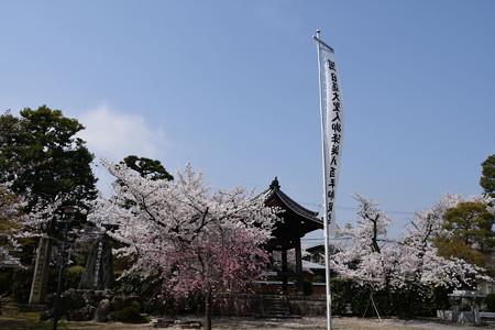 桜満開の妙顕寺