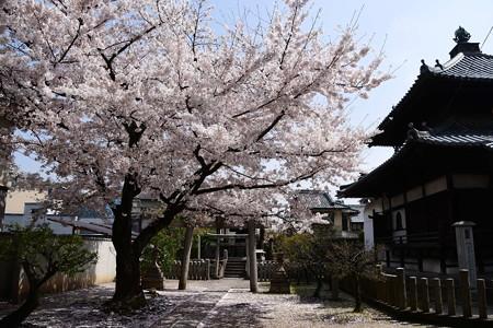 慶中稲荷前の染井吉野(ソメイヨシノ)