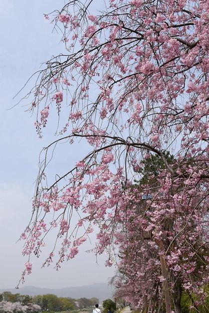 半木の道(なからぎのみち)の八重紅枝垂れ