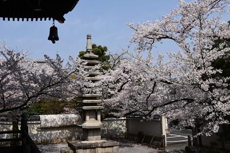 寿福院塔を包む染井吉野