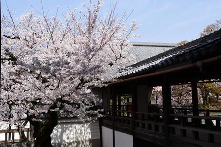 回廊脇の染井吉野