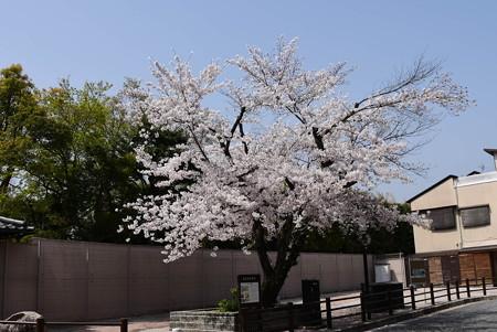 満開の染井吉野(ソメイヨシノ)