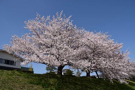 賀茂川の染井吉野