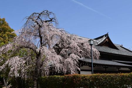 武道センターの枝垂れ桜