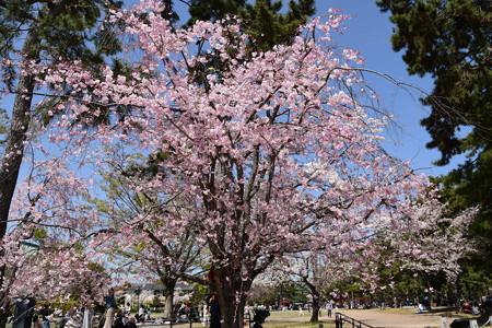 岡崎公園の八重紅枝垂れ