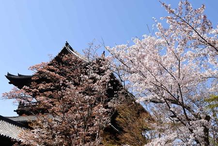三門を彩る桜