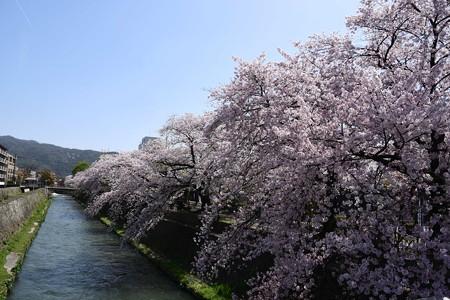 夷川ダムに続く桜