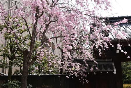 擁翠園の八重紅枝垂れ