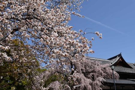 山桜と枝垂れ桜