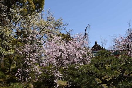 平安の苑の八重紅枝垂れと山桜