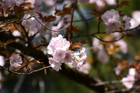 平安の苑の桜