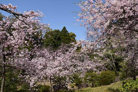 平安の苑の桜たち