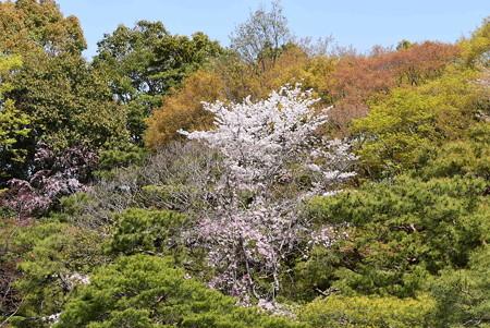 新緑の中の桜