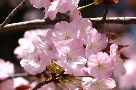 栖凰池脇の桜