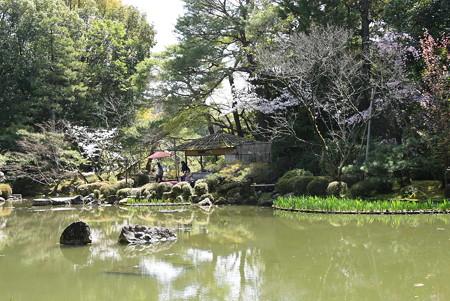 蒼龍池の桜風景