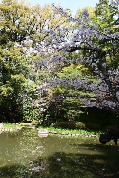 白虎池の桜