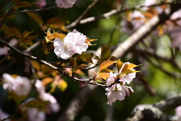 白虎池脇の桜