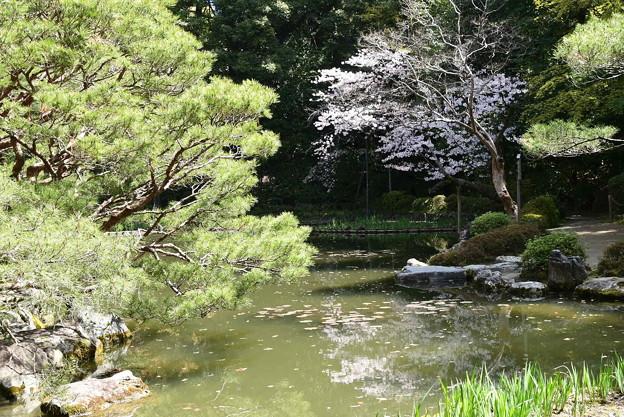 白虎池の桜風景