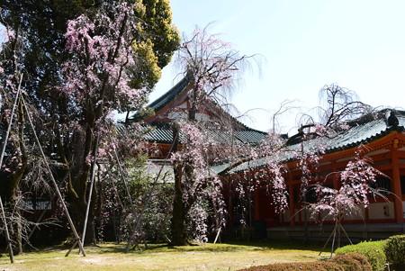 八重紅枝垂れ咲く平安神宮