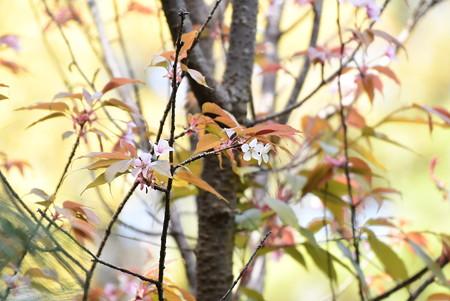 啓翁桜(ケイオウザクラ)?