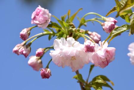 笹賀鴛鴦桜(ササガオシドリザクラ)