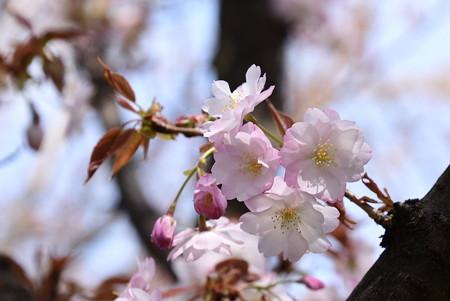 大原渚桜(オオハラナギサザクラ)