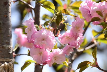 萌紅桜(メグザクラ)