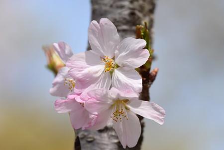 紅鶴桜(ベニズルザクラ)