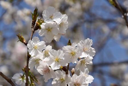 西宮権現桜(ニシノミヤゴンゲンザクラ)